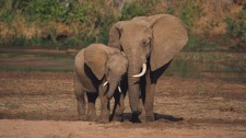 elephant-with-baby