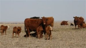 prairies drought cattle