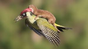 weasel on woodpecker