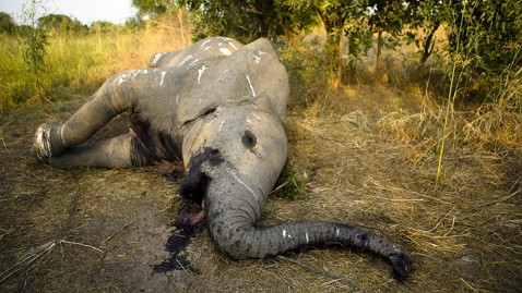 elephant left to rot
