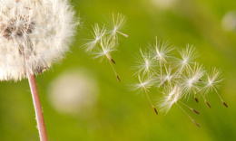 Dandelion seeds blowing away in the wind.
